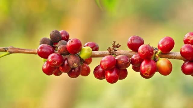 vídeos de stock e filmes b-roll de café árvore. - colheita