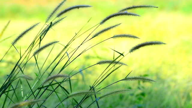 cogon grass blowing in wind - blade of grass stock videos and b-roll footage