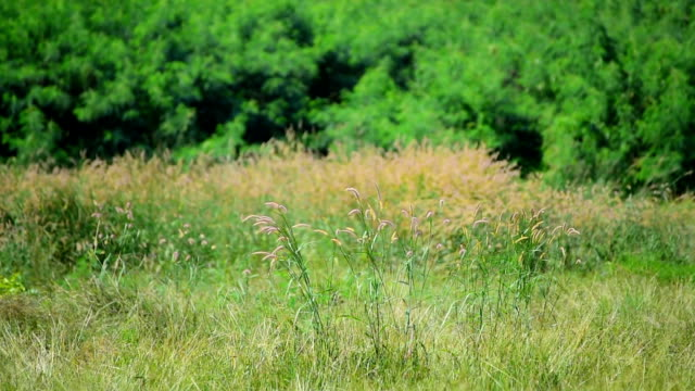 cogon grass blowing in wind - medium shot stock videos & royalty-free footage