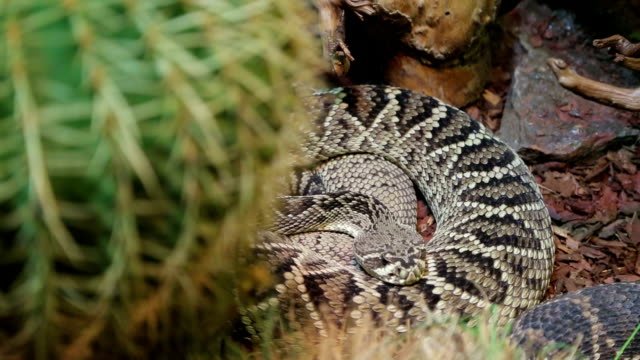 coiled rattlesnake - poisonous stock videos & royalty-free footage