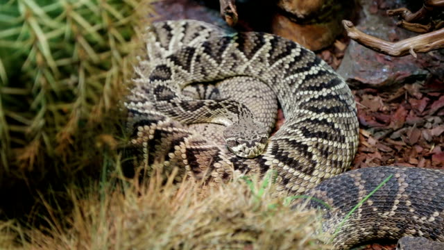 coiled rattlesnake - viper stock videos & royalty-free footage