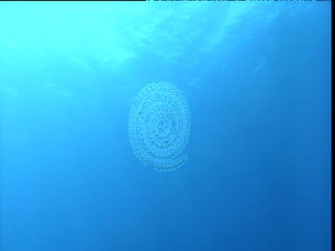 stockvideo's en b-roll-footage met coiled salp chain moves towards camera then rotates, california - doorschijnend
