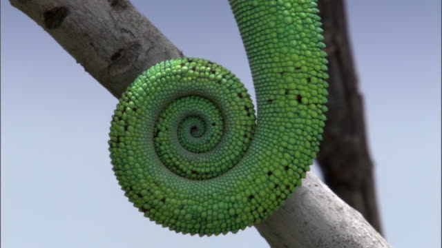 coiled tail of panther chameleon (furcifer pardalis) on branch, madagascar - curled up stock videos and b-roll footage