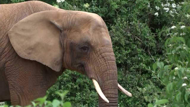 essex colchester zoo ext african elephants grazing - grazing stock videos & royalty-free footage
