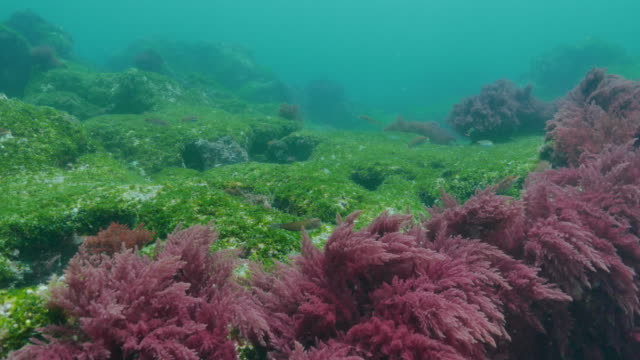 cold water sea reef with moss at galapagos - sea grass plant video stock e b–roll