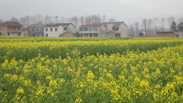 vidéos et rushes de cole flowers fields in rural china,east asia - crucifers