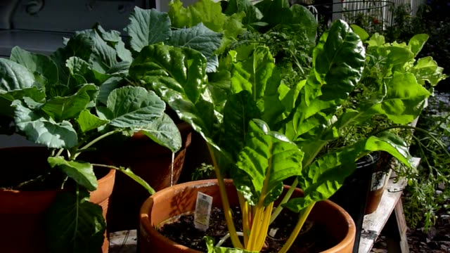 Collards and Chard Growing in Containers