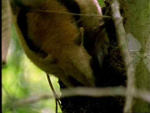 Collared Anteater (Tamandua), CU anteater claws at ants nest, feeding, pulls out, Panama