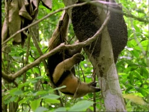 Collared Anteater (Tamandua), MCU anteater in tree, feeds on ants, climbs up tree trunk . . ., Panama