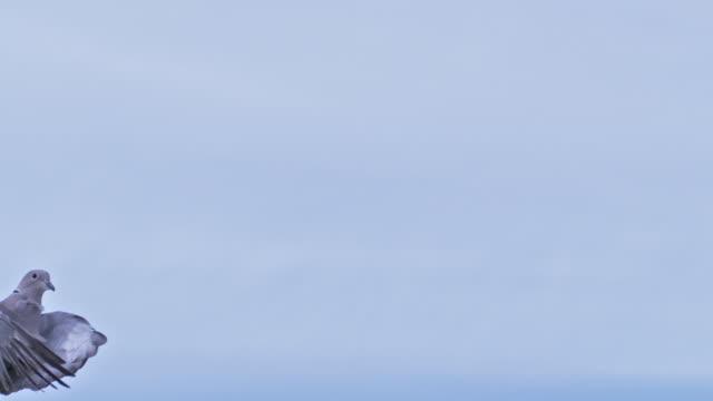 collared dove, streptopelia decaocto, adult in flight - colomba video stock e b–roll