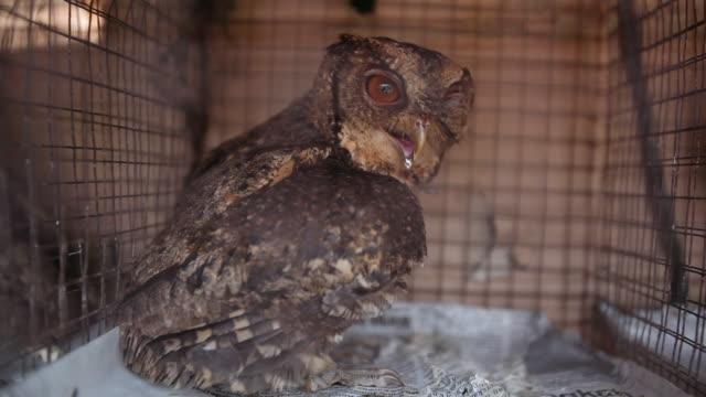 Collared Scop Owl in cage in animal market.