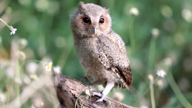 collared scops owl in the meadow - ugliness stock videos & royalty-free footage