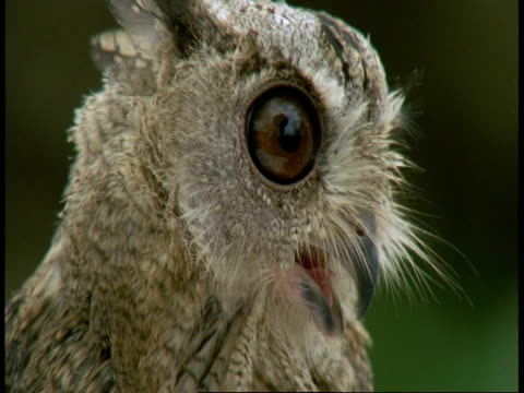 vidéos et rushes de cu collared scops owl, otus bakkamoena, calling, bandhavgarh national park, india - un seul animal