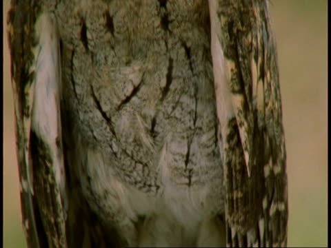 cu collared scops owl, otus bakkamoena, calling, tilt up from feet to head, bandhavgarh national park, india - bandhavgarh national park stock videos and b-roll footage