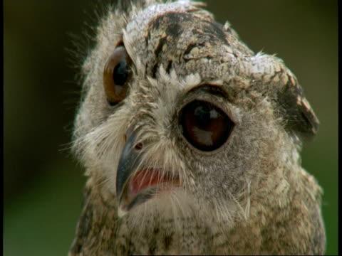 cu collared scops owl, otus bakkamoena, tilt up from feet to head, bandhavgarh national park, india - bandhavgarh national park stock videos and b-roll footage