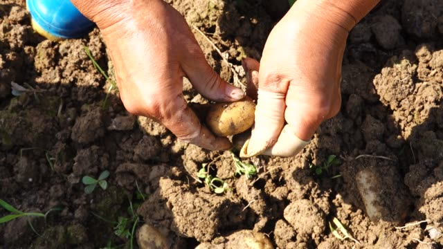 collecting potatos in the agriculture field - seedling stock videos & royalty-free footage