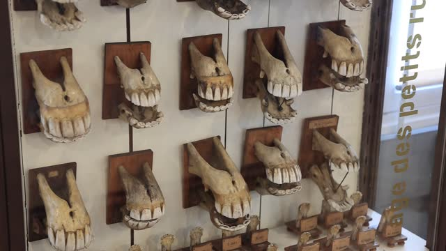 collection of equine jaws at the fragonard museum, dedicated mainly to preserved animals and anatomical oddities on july 8 in maisons alfort, france.... - anatomy stock videos & royalty-free footage