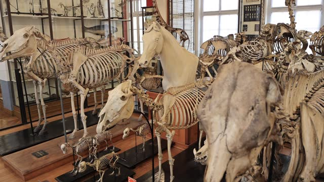 collection of equine skeletons at the fragonard museum, dedicated mainly to preserved animals and anatomical oddities on july 8 in maisons alfort,... - anatomy stock videos & royalty-free footage