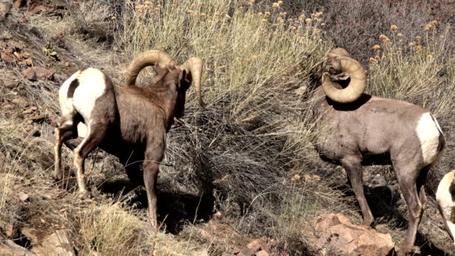 colliding wild bighorn sheep hit horns waterton canyon colorado 4k video - wildlife stock videos & royalty-free footage