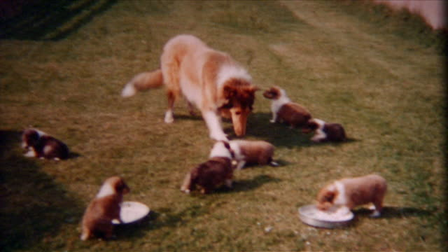collie and pups 1940's - collie stock videos & royalty-free footage
