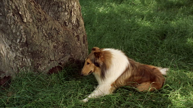 MS PAN Collie dog crawling through woods and man searching dog