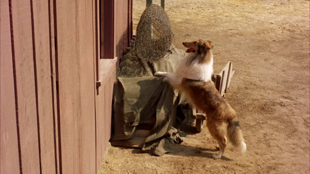 ms collie dog leaping through barn windows - collie stock videos & royalty-free footage