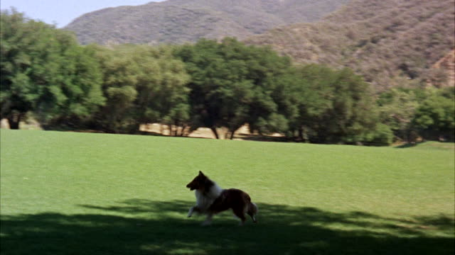 ms pan collie dog running across wide lawn to front of big ranch-style house - ranch house stock videos & royalty-free footage