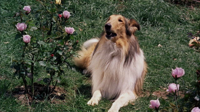cu collie dog sitting beside rose bush - collie stock videos & royalty-free footage