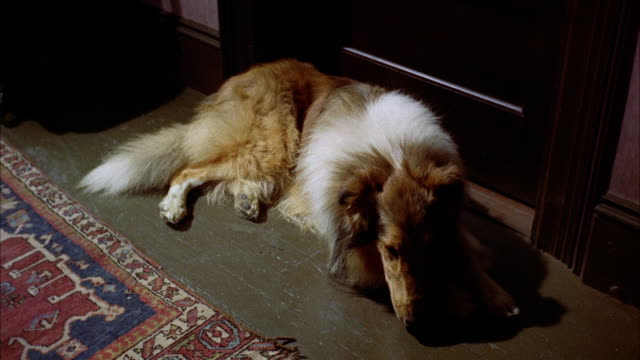 cu collie dog sleeping near of closed door and raising head - collie stock videos & royalty-free footage