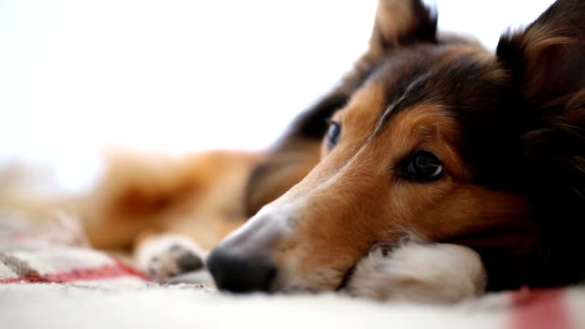 collie rough sleep in bed - sheepdog stock videos & royalty-free footage