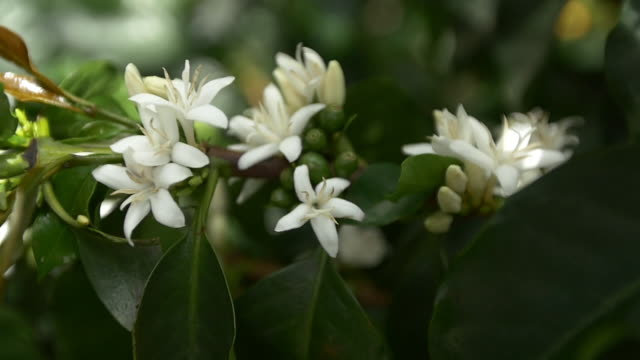 vídeos de stock, filmes e b-roll de colombia coffee blossom slow motion - focus on foreground