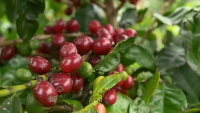 Colombia fresh coffeebeans slow motion