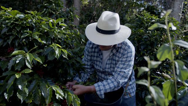 コロンビアのコーヒー農家がプランテーションで豆を拾う - harvesting点の映像素材/bロール