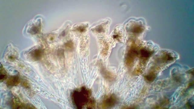 colonial rotifers lacinularia flosculosa. - animale microscopico video stock e b–roll