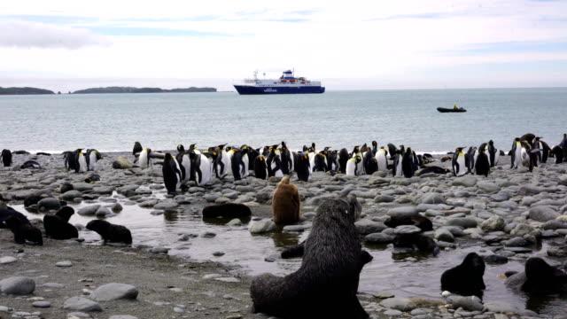 vídeos y material grabado en eventos de stock de colonias de cría del rey pingüinos y lobos marinos juntos en una playa en la isla de georgia del sur en el océano atlántico sur - foca peluda