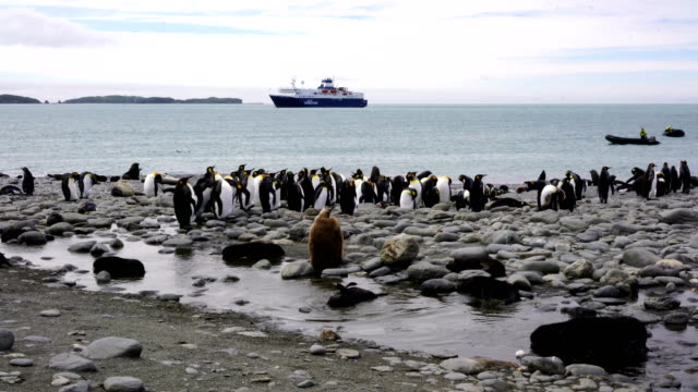 colonies of breeding king penguins and fur seals together on a beach on south georgia island in the south atlantic ocean - south georgia island stock videos & royalty-free footage