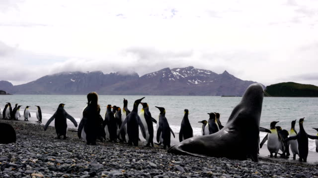 colonies of breeding king penguins and fur seals together on a beach on south georgia island in the south atlantic ocean - seal animal stock videos & royalty-free footage