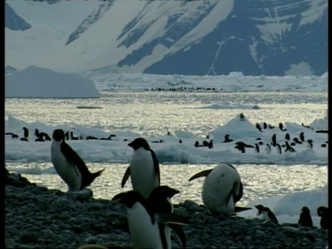vidéos et rushes de ms colony of adelie penguins, some preening in foreground, some float past on iceberg in background, antarctica - se lisser les plumes