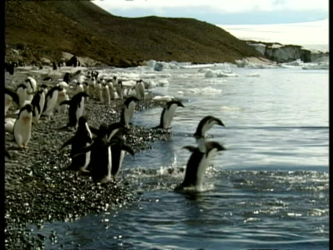 ms colony of adelie penguins waddling to shore and diving into water, antarctica - waddling stock videos and b-roll footage