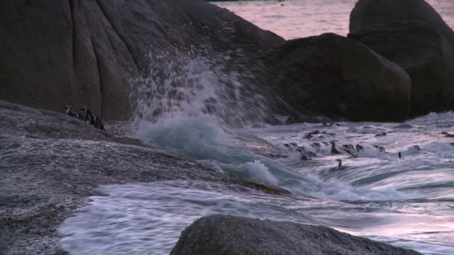 vidéos et rushes de colony of african penguins come ashore on the surf. available in hd. - colony