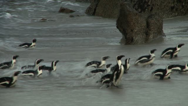 vidéos et rushes de a colony of african penguins hop through the surf and onto a beach. available in hd. - manchot
