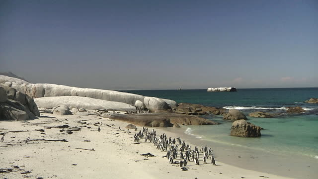 vídeos de stock, filmes e b-roll de ws ha colony of african penguins (spheniscus demersus) on boulders beach / cape town, western cape, south africa - boulder rock