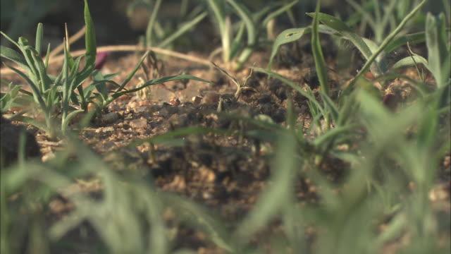 vídeos de stock e filmes b-roll de a colony of ants marches through grass and gravel. - formiga