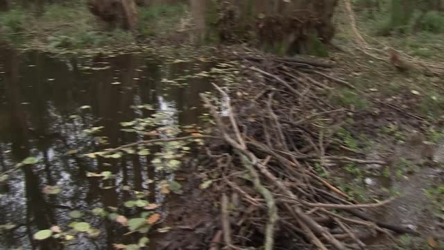 colony of beavers in exmoor build first dam in area for 400 years; england: somerset: exmoor: ext beaver swimming along through water wide shot... - beaver stock videos & royalty-free footage