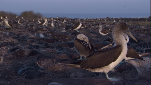 a colony of blue-footed boobies nest together on a lava field. available in hd. - ガラパゴス諸島点の映像素材/bロール