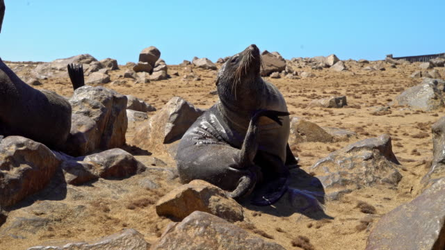 vídeos y material grabado en eventos de stock de colony of brown fur seals, arctocephalus pusillus - foca peluda del cabo