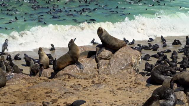 vidéos et rushes de colony of brown fur seals, arctocephalus pusillus - otarie à fourrure