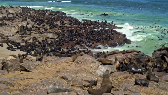 colony of brown fur seals, arctocephalus pusillus - seals stock videos and b-roll footage