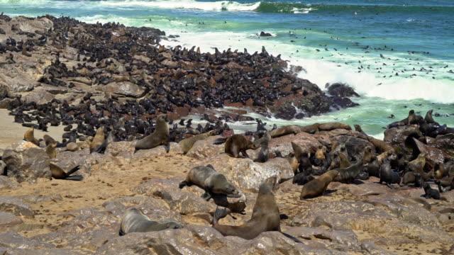 colony of Brown fur seals, Arctocephalus pusillus