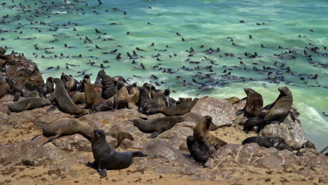 stockvideo's en b-roll-footage met colony of brown fur seals, arctocephalus pusillus - zeeleeuw